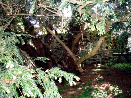 Where you see ground used to be the solid trunk of the yew.  Only parts of it remain, but it lives!